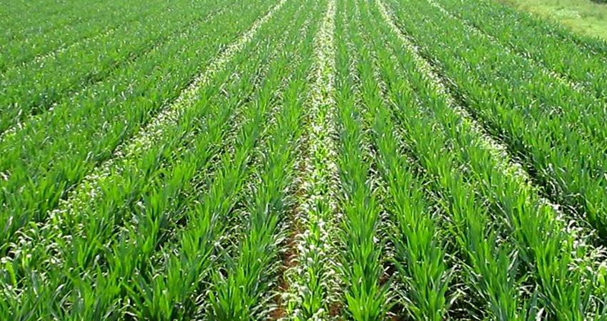 vendita-sementi-certificati-rovigo